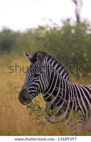 African Zebra in Kruger National Park - stock photo