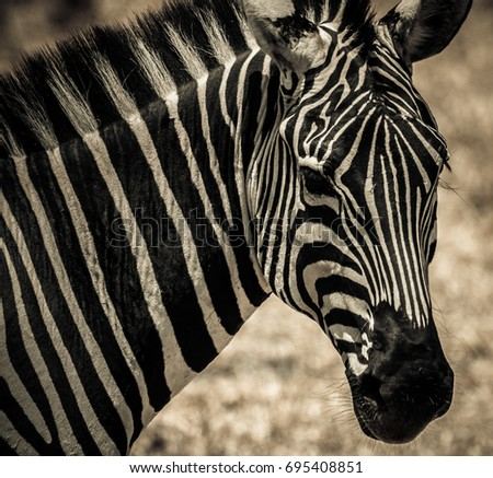 African zebra in Serengeti National Park