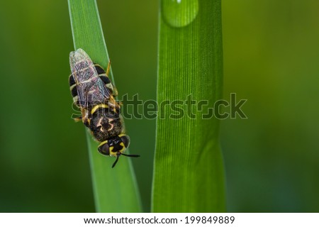Africanized Honey bee on a flower - stock photo