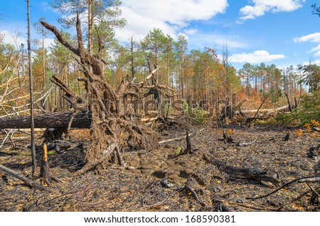 After a fire in the coniferous forest - stock photo