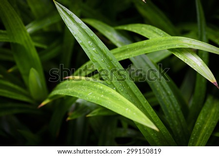 After rainning of Pandanus leaf with low key light