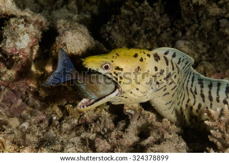 After some scuffle and struggle, a beautiful moray eel (Frimbiated Moray Eel) caught a fish during a night hunt and was seen swallowing its prey. - stock photo