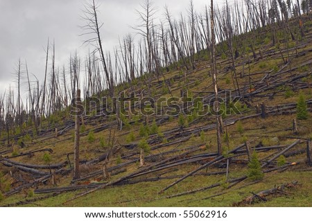 After the devastating 1988 fire in Yellowstone National Park, new trees are springing up among the fallen logs - stock photo