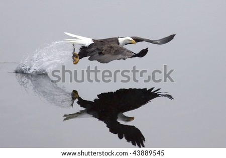 After the swoop, an eagle catches a fish and takes off leaving a trail of splashing water. - stock photo