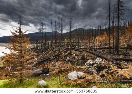 Aftermath of a forest fire, Jasper National Park Alberta Canada