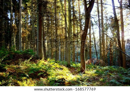 Afternoon light on rural Scottish woods in Solway, Southwest Scotland.