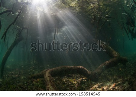 Afternoon sunlight filters through a mangrove canopy in Raja Ampat, Indonesia. Mangroves play an important ecological role throughout the tropics. - stock photo