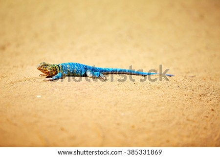 Agama (lizard), Kenyan rock agama - stock photo