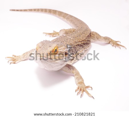 agama on a white background