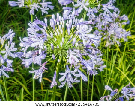 Agapanthus africanus (African lily) is a native of the Cape of Good Hope in South Africa - stock photo