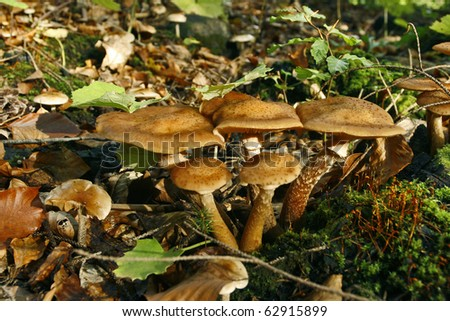 Agaric honey fungus on forest floor - stock photo