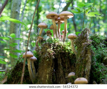 agaric honey fungus on stump in forest - stock photo