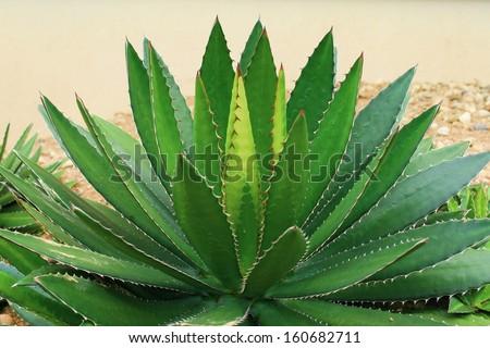 Agavae leaves - stock photo