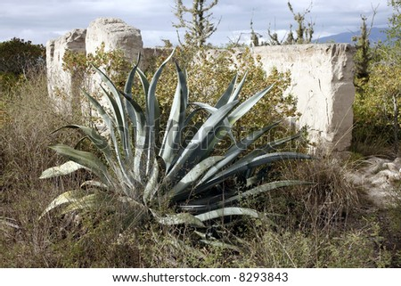 Agave americana plant growing by ruined adobe house
