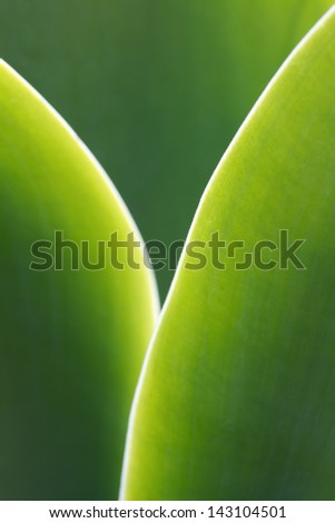 Agave Attenuata leaf in backlit. - stock photo