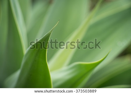 Agave attenuata plant detail