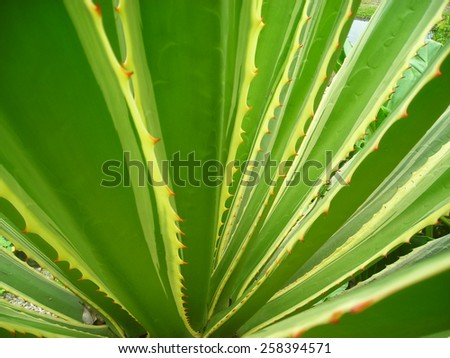 Agave, cactus-plant with stings - stock photo
