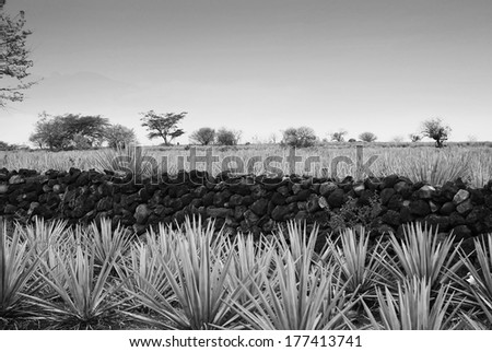 Agave landscape black and white