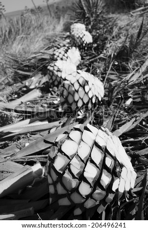 Agave pinaples, tequila landscape black and white - stock photo