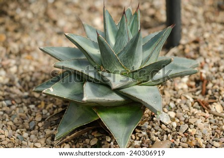 Agave pumila a very compact form, one of the smallest of the Agave�¢??s. It is suspected to be a natural hybrid between Agave lechuguilla and Agave Victoria reginae. - stock photo