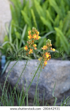 Agave succulent blooming beautiful flowers of yellow and orange. - stock photo