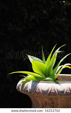 Agave succulent in planter reaching towards the sun, with a dark background.