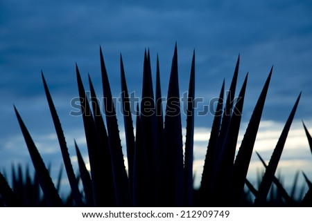 Agave tequila landscape back light whit blue sky to Guadalajara, Jalisco, Mexico. - stock photo
