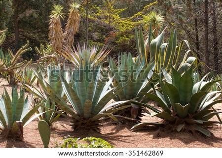 Agave tequila landscape in the botanical garden in Lloret de Mar, Spain. - stock photo