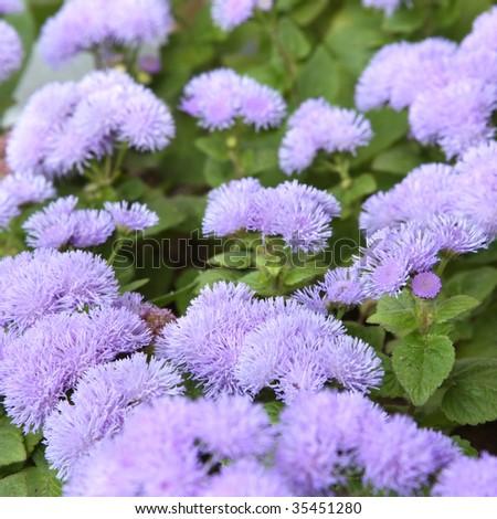 Ageratum blossom. Close-up, shallow DOF - stock photo