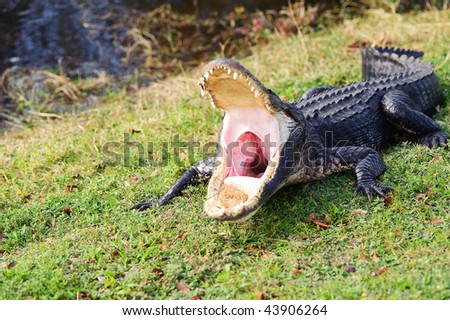 aggressive alligator in everglades park in Florida - stock photo