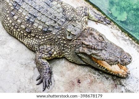 Aggressive alligator's jaw, crocodile at crocodile farm  - stock photo