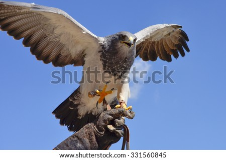 Aggressive and hungry hawk showing claws at a falconry on blue background/Hungry and angry/Hawk looking for food