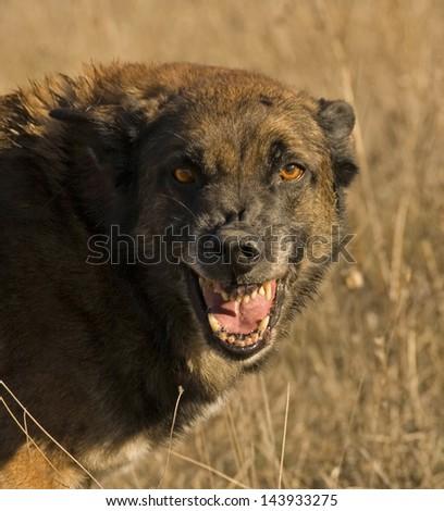 aggressive belgian shepherd malinois - stock photo