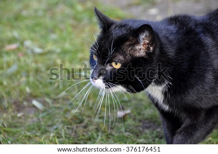 Aggressive black cat with long whiskers