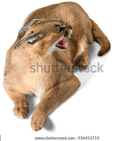 Aggressive Caracal Lying Down - Isolated - stock photo
