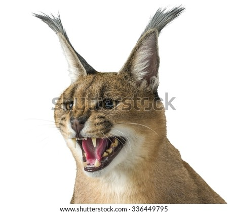 Aggressive Caracal's Head - Isolated - stock photo