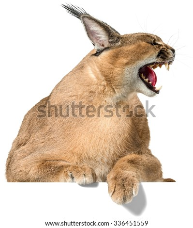 Aggressive Caracal Showing Teeth - Isolated - stock photo