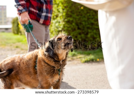Aggressive crossbreed small dog being walked - stock photo