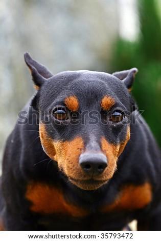Aggressive doberman portrait - stock photo