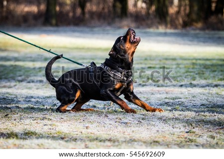 Angry rottweiler dog - photo#34