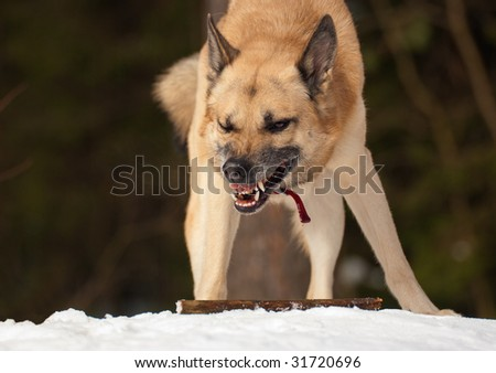 Aggressive dog with a stick in winter forest - stock photo