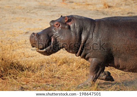 Aggressive hippopotamus (Hippopotamus amphibius) charging, South Africa - stock photo