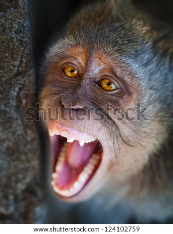 Aggressive monkey close up - Macaca fascicularis. Indonesia, Bali.