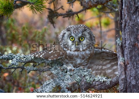 Aggressive owl in attack (nocturnal predator, spawn of devil). Tengmalm's owl (boreal owl, Aegolius funereus) is typical inhabitant of taiga, rare bird. Extremely expressive eyes and big wise head