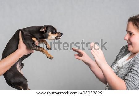 Aggressive Pinscher dog - stock photo