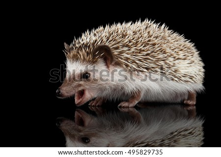 Aggressive Prickly Hedgehog Screaming isolated on Black Background
