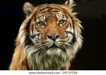 Aggressive Sumatran Tiger - stock photo