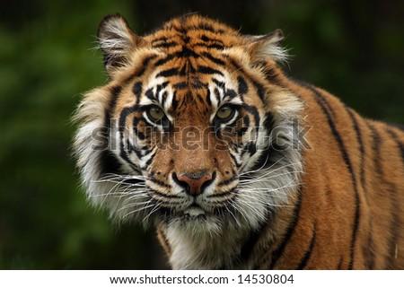 Aggressive Sumatran Tiger staring directly at you! - stock photo