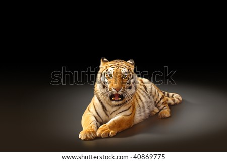 Aggressive tiger laying on dark background, with copy space - stock photo