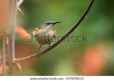 Agile, african nectar-eating bird,  Mouse-colored Sunbird, Cyanomitra veroxii, competing male showing red feathers, perched on stem against blurred red flowers background. KwaZulu Natal, South Africa. - stock photo